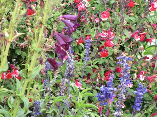 Penstemon salvia