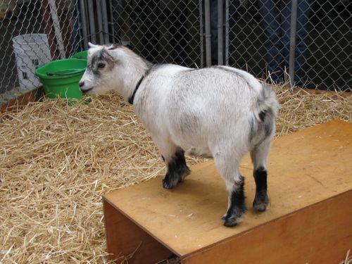Snohomish Goat