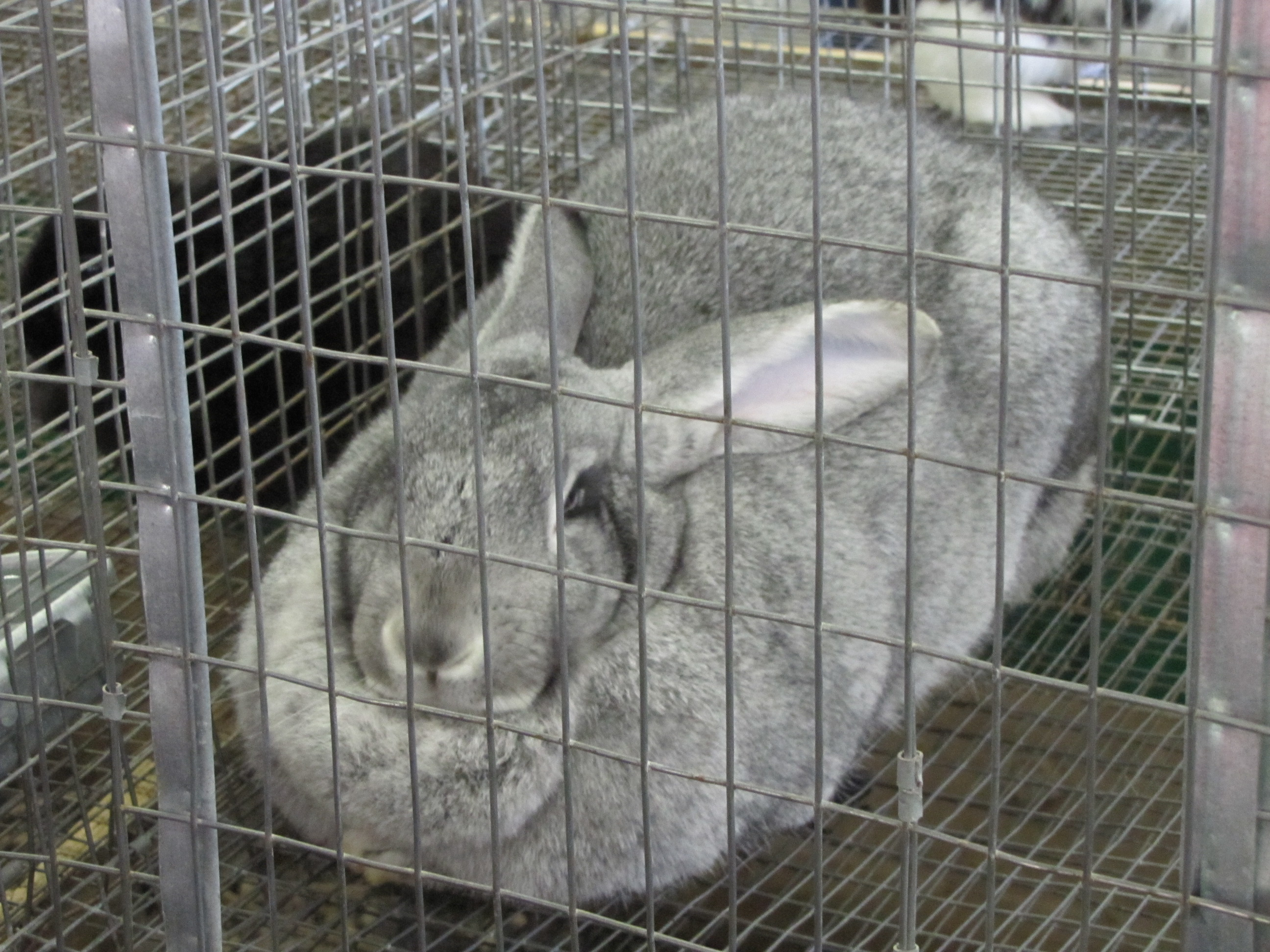Snohomish Rabbit