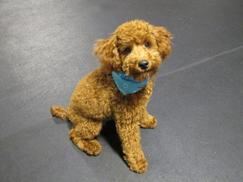 Metrodog Poodle 2